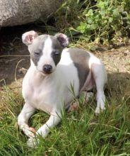 Italian Greyhound Puppies Available