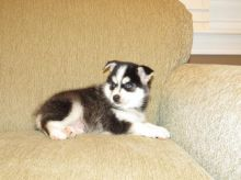 Pomsky Puppies Available