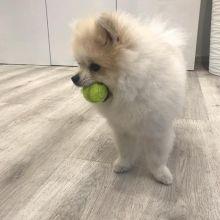 Prodigious Ckc Pomeranian Puppies Available