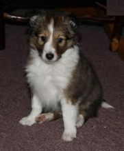 Sheltie Puppies Available