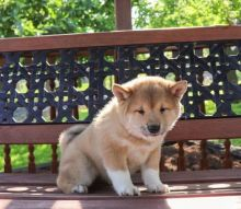 Shiba Inu Puppies Available