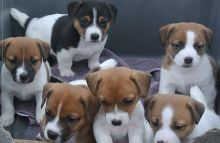 Well socialized Jack Russell Terrier puppies available