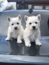 West Highland Terrier Puppies Available