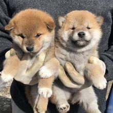Astonishing Ckc Shiba Inu Puppies Image eClassifieds4U