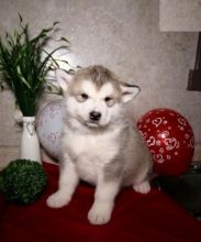 Alaskan Malamute Puppies For Re-homing