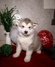 Alaskan Malamute Puppies For Re-homing