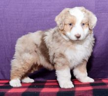 Australian Shepherd Puppies For Re-homing