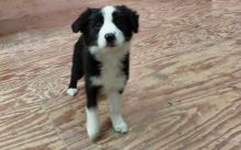 Border Collie Puppies For Re-homing