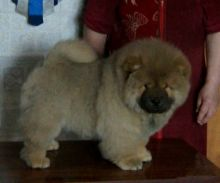 Chow Chow Puppies Available
