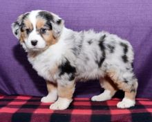 CKC Australian Shepherd Puppies
