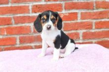 CKC Beagle Puppies