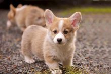CKC Corgi Puppies