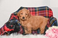CKC Goldendoodle Puppies