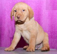 CKC Labrador Retriever Puppies