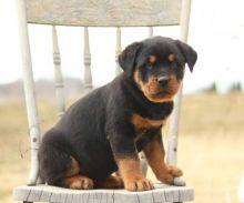 CKC Rottweiler Puppies