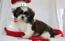 CKC Shih Tzu Puppies