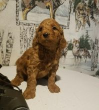 Goldendoodle Puppies For Re-homing