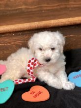 Healthy Bichon Frise Puppies
