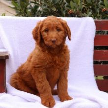 Healthy Goldendoodle Puppies