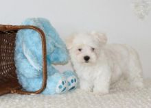 Healthy Maltese Puppies
