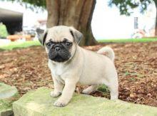 Healthy Pug Puppies
