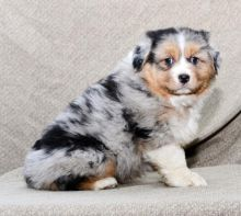 Home Raised Australian Shepherd Puppies