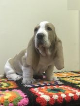 Home Raised Basset Hound Puppies