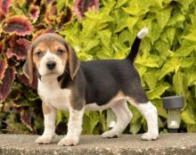 Home Raised Beagle Puppies