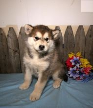 Male and Female Alaskan Malamute Puppies