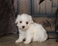 Male and Female Bichon Frise Puppies