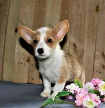 Male and Female Corgi Puppies