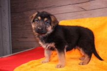 Male and Female German Shepherd Puppies
