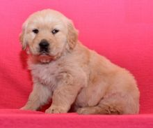 Male and Female Golden Retriever Puppies