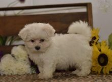 Maltese Puppies For Re-homing