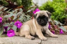 Pug Puppies For Re-homing
