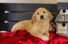 CKC Golden Retriever Puppies Image eClassifieds4U