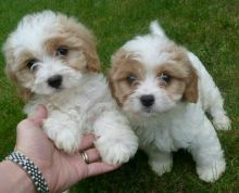 Cavapoo Puppies Available