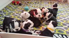Adorable Boston terrier Puppies Available ,