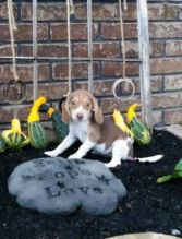 Beagle Puppies For Re-homing