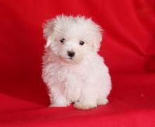 CKC Maltese Puppies