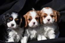 Gorgeous Cavalier King Charles Spaniel puppies available.