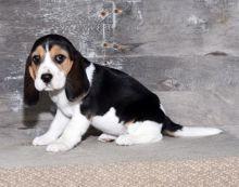 Healthy Beagle Puppies