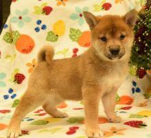 Healthy Shiba Inu Puppies