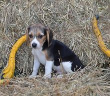 Male and Female Beagle Puppies