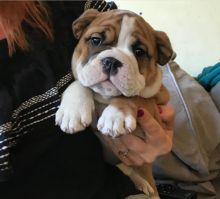 #Charming male and female English Bulldog puppies