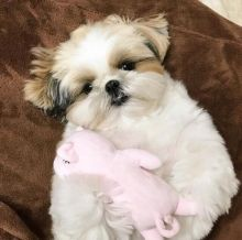 🐾💝🐾 Eye-Catching 🐾💝🐾 Ckc Shih Tzu Puppies Available🐾💝
