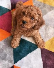 Adorable TeaCup Toy Poodle Puppies Available Text at : 678-871-7681