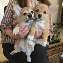 Astounding Ckc Pembroke Puppies