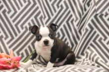 Boston Terrier Puppies For Re-homing