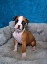 CKC Boxer Puppies